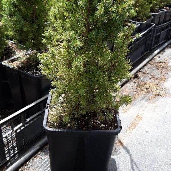 Picea Albertiana Conica