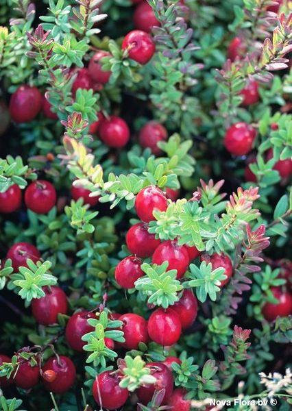Mirtillo rosso americano