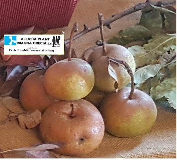 Pero da frutto antiche varietà