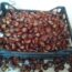 Castagno da frutto antiche varietà